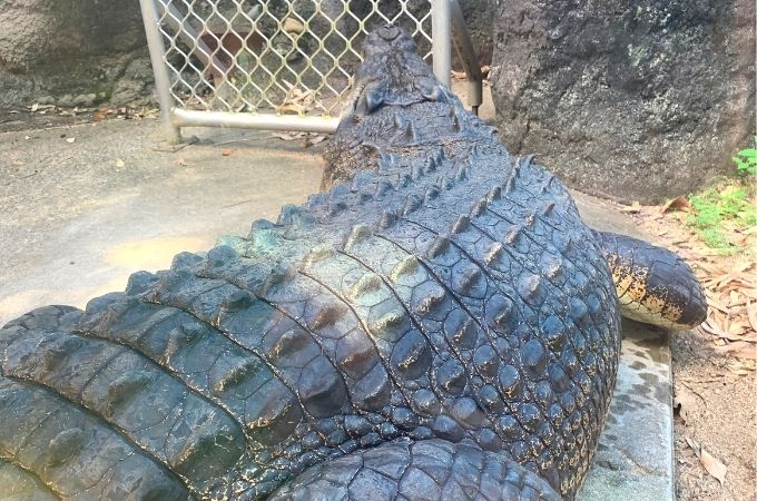 Crocodile at Hamilton Island Wildlife